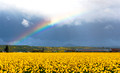 Daffodils and Rainbow
